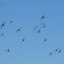 apus_apus_flock_flying